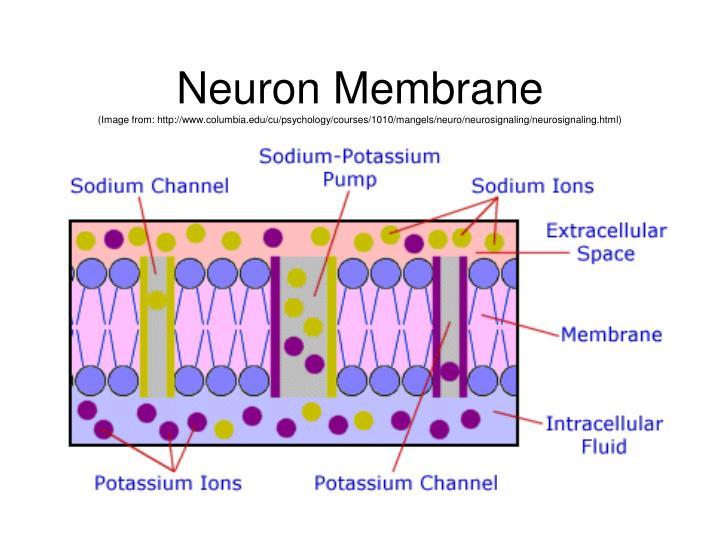 Neuron Membrane