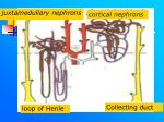 cortical nephrons