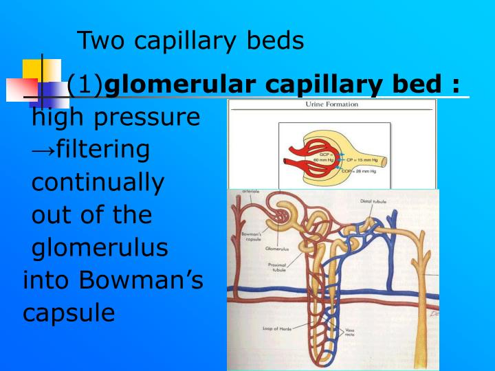 Two capillary beds