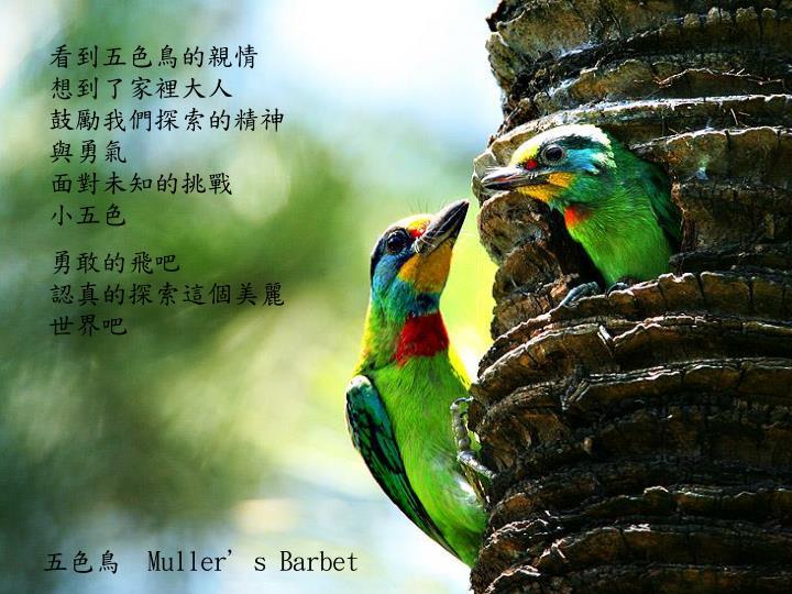 看到五色鳥的親情