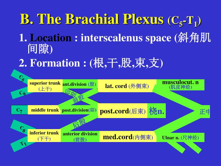 B. The Brachial Plexus