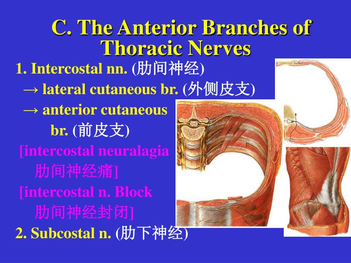 C. The Anterior Branches of Thoracic Nerves