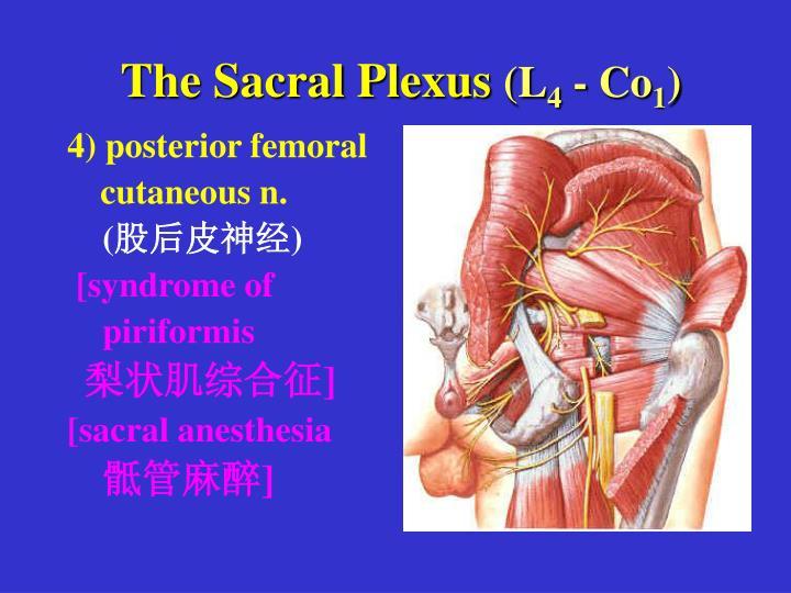 The Sacral Plexus