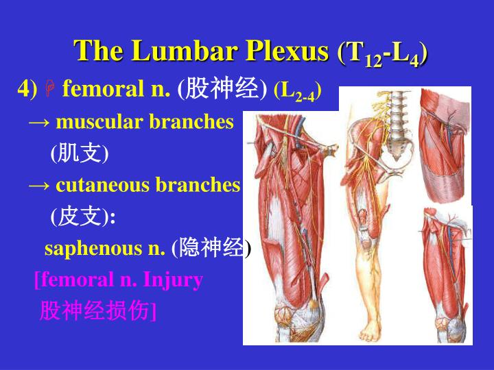 The Lumbar Plexus