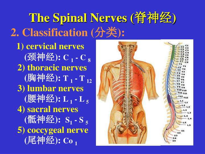 The Spinal Nerves (