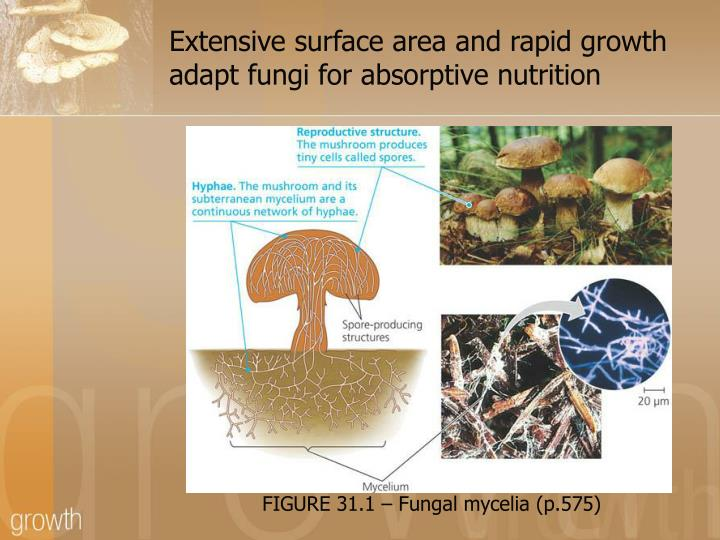 Extensive surface area and rapid growth adapt fungi for absorptive nutrition