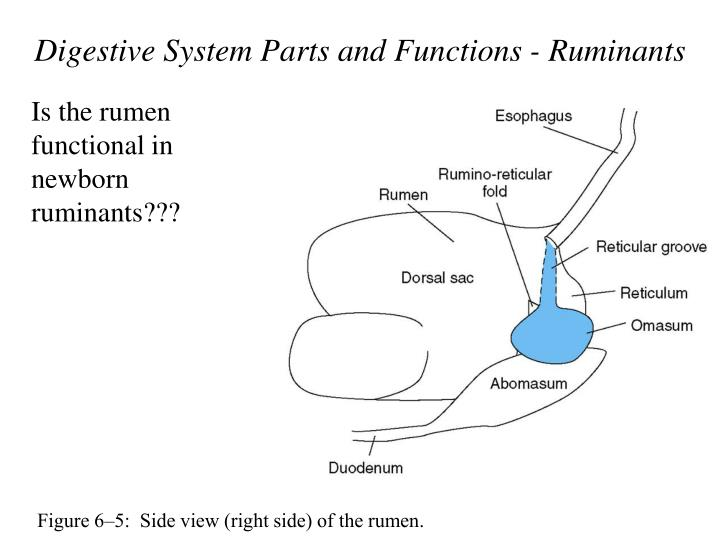 Digestive System Parts and Functions - Ruminants
