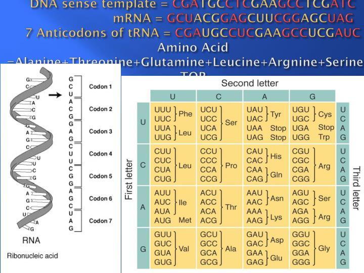 DNA sense template =