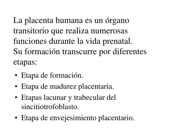 La placenta humana es un órgano transitorio que realiza numerosas funciones durante la vida prenatal.