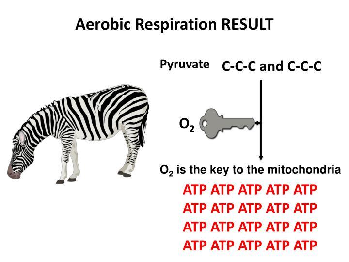 Aerobic Respiration RESULT