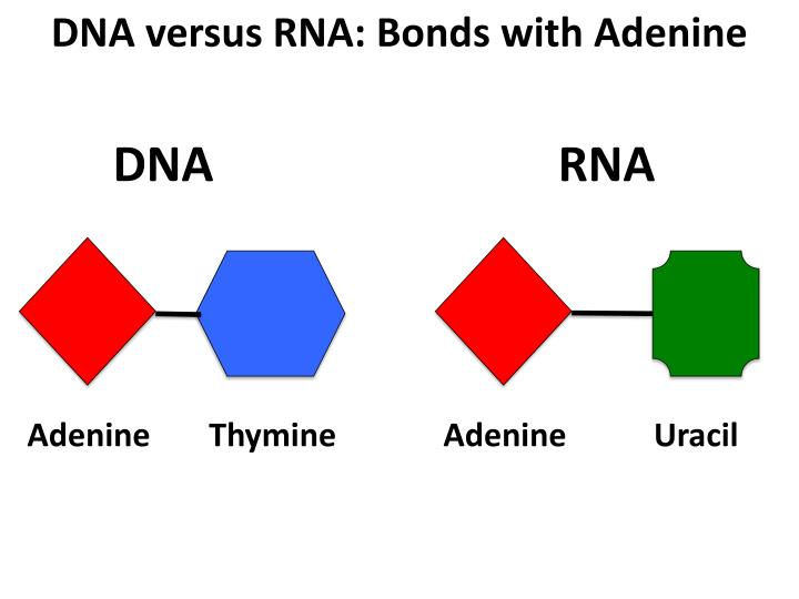 DNA versus RNA: Bonds with Adenine