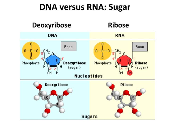 DNA versus RNA: Sugar