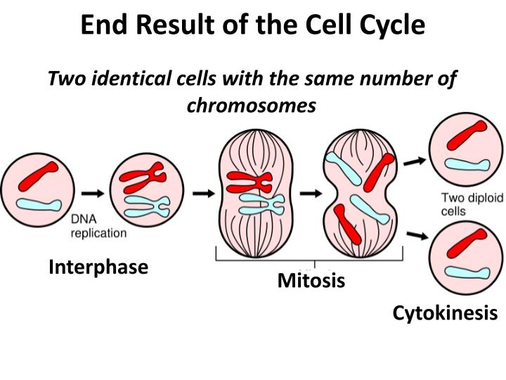 End Result of the Cell Cycle