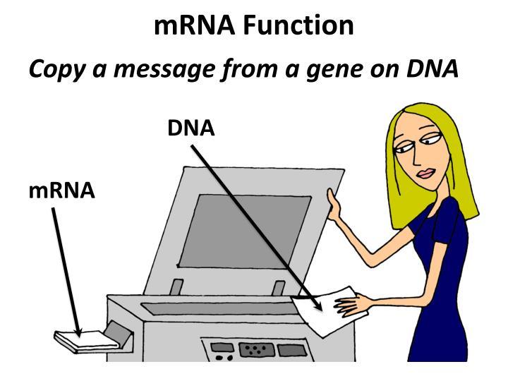 mRNA Function