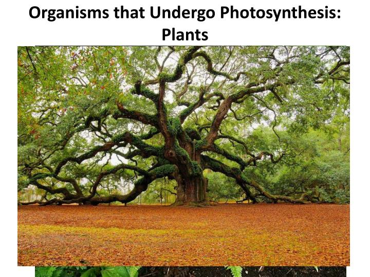 Organisms that Undergo Photosynthesis: Plants