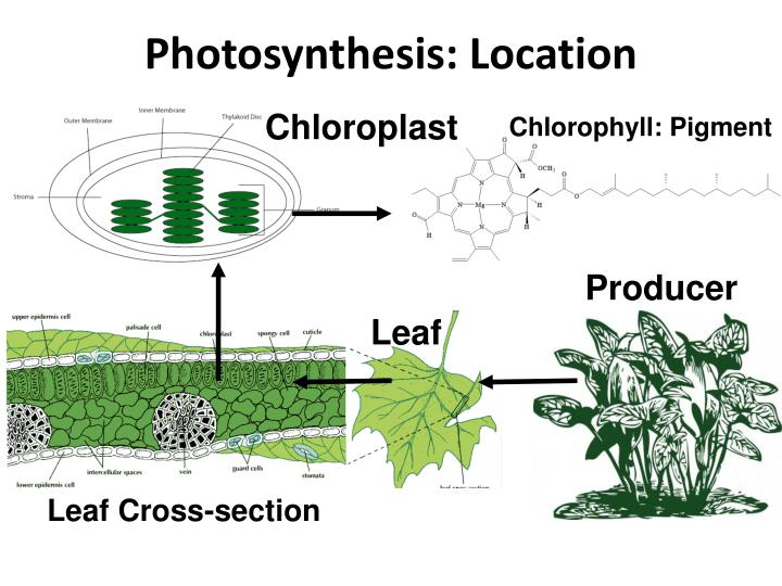 Photosynthesis: Location