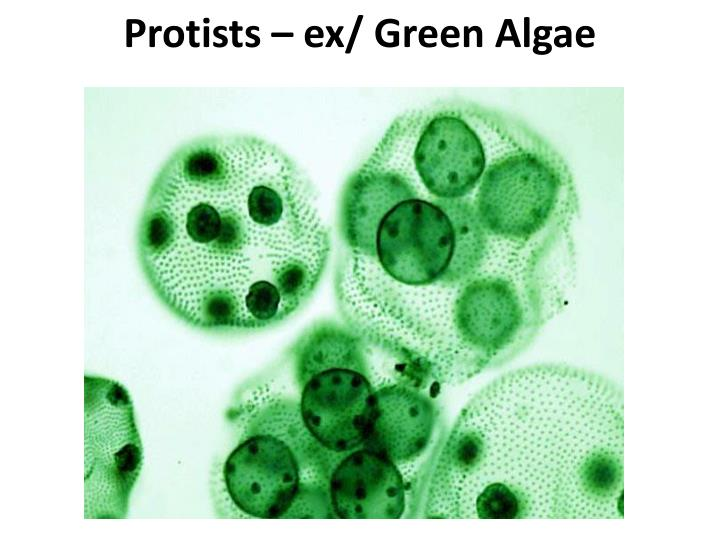 Protists – ex/ Green Algae