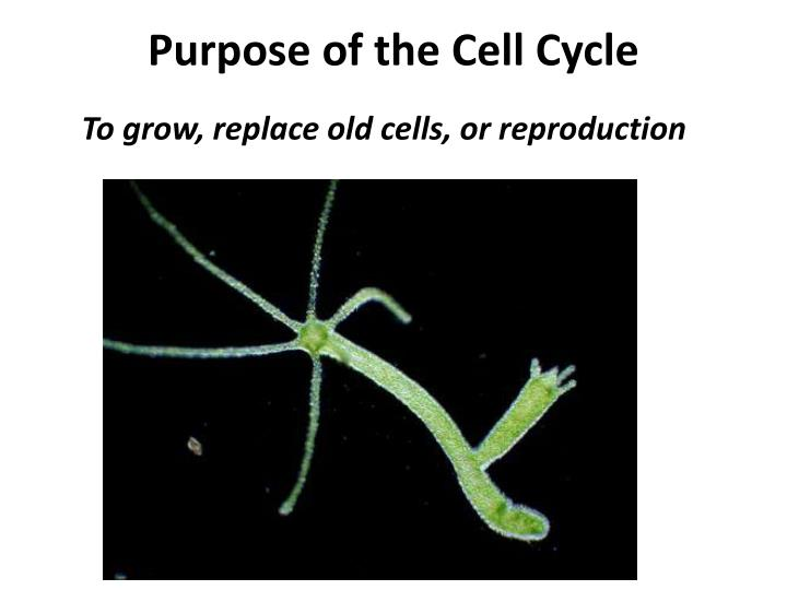 Purpose of the Cell Cycle