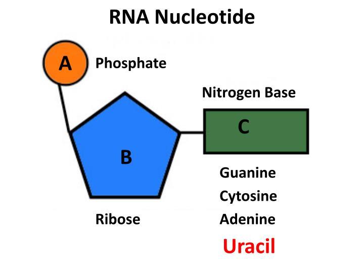 RNA Nucleotide