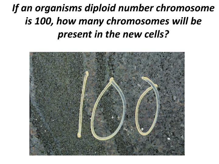 If an organisms diploid number chromosome is 100, how many chromosomes will be present in the new cells?