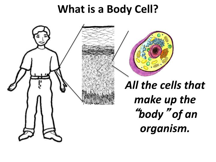 What is a Body Cell?