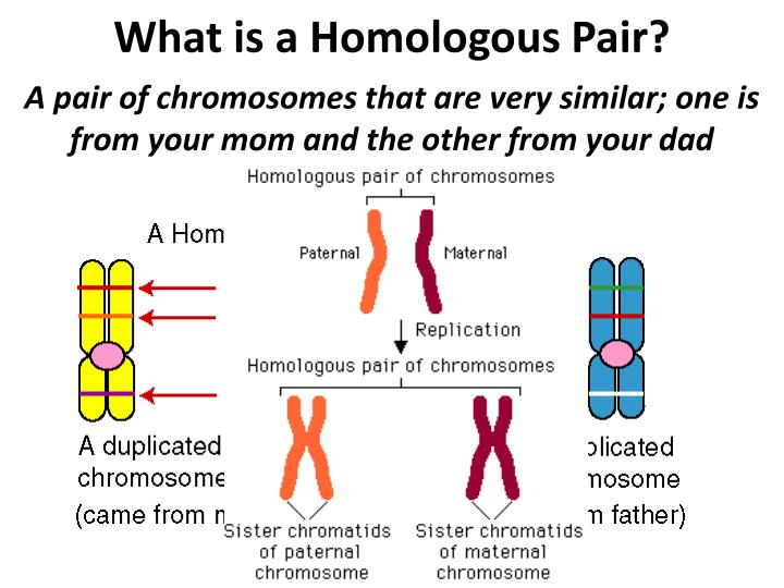 What is a Homologous Pair?