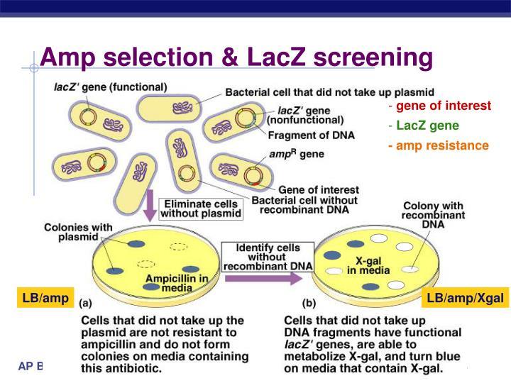 Amp selection & LacZ screening