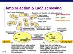 amp selection lacz screening