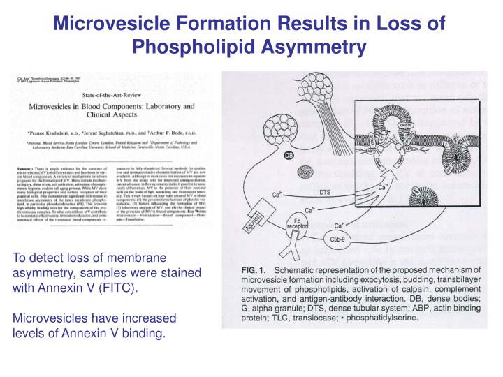 Microvesicle Formation Results in Loss of Phospholipid Asymmetry