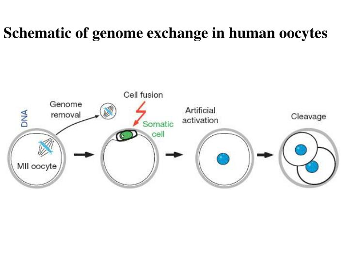 Schematic of genome exchange in human oocytes