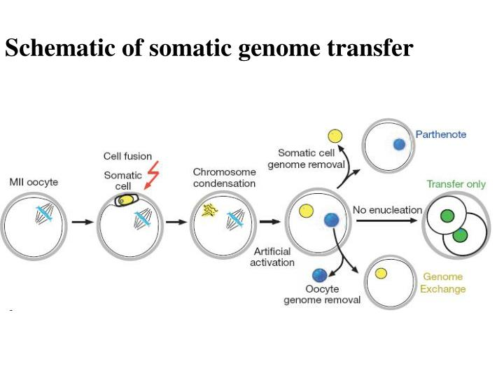 Schematic of somatic genome transfer