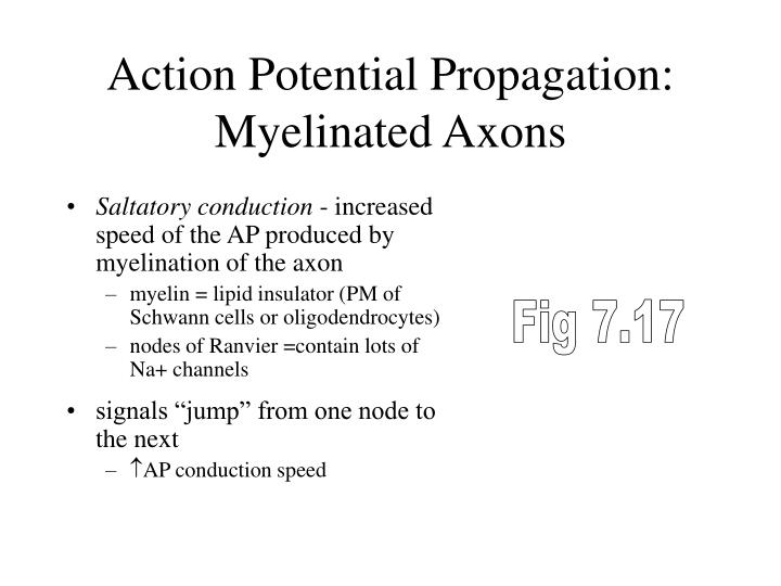 Action Potential Propagation: