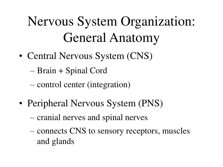 Nervous system organization general anatomy