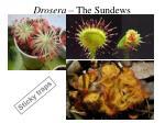 drosera the sundews