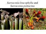 sarracenia leucophylla and sarracenia psittacina