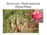 sarracenia north american pitcher plants