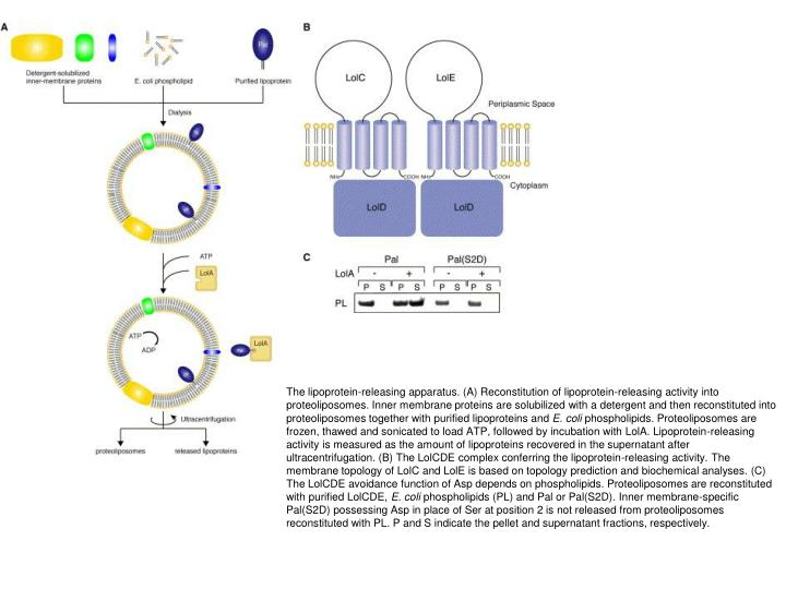 The lipoprotein-releasing apparatus. (A) Reconstitution of lipoprotein-releasing activity into proteoliposomes. Inner membrane proteins are solubilized with a detergent and then reconstituted into proteoliposomes together with purified lipoproteins and