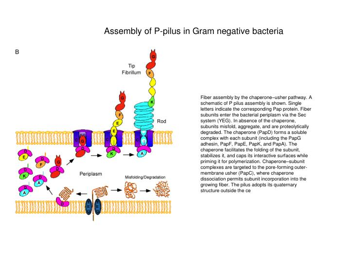 Assembly of P-pilus in Gram negative bacteria