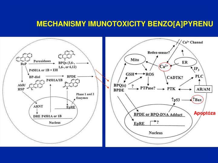 MECHANISMY IMUNOTOXICITY BENZO