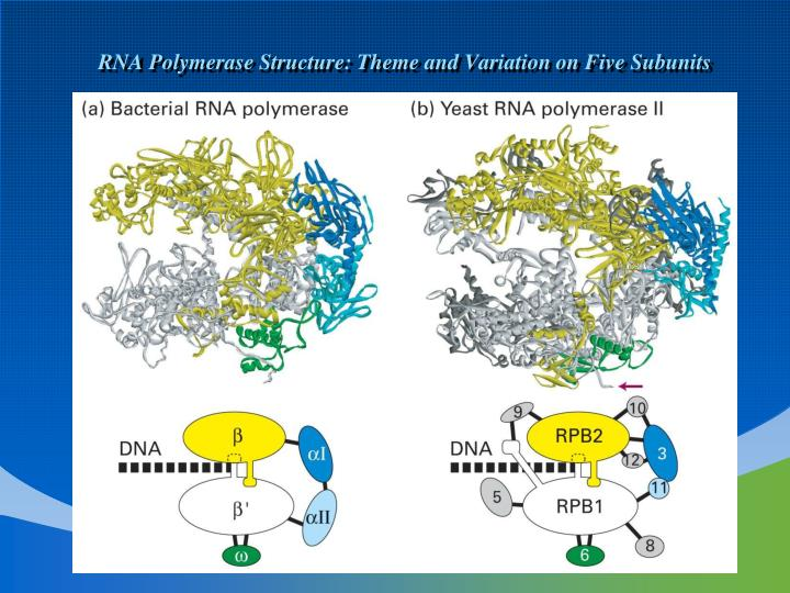 RNA Polymerase Structure: Theme and Variation on Five Subunits