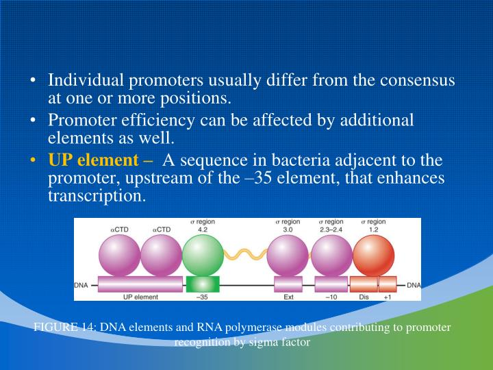 Individual promoters usually differ from the consensus at one or more positions.
