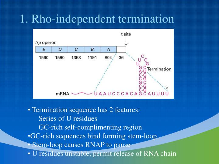 1. Rho-independent termination
