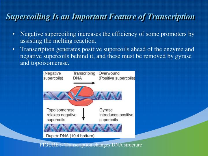 Supercoiling Is an Important Feature of Transcription