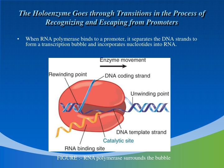 The Holoenzyme Goes through Transitions in the Process of Recognizing and Escaping from Promoters
