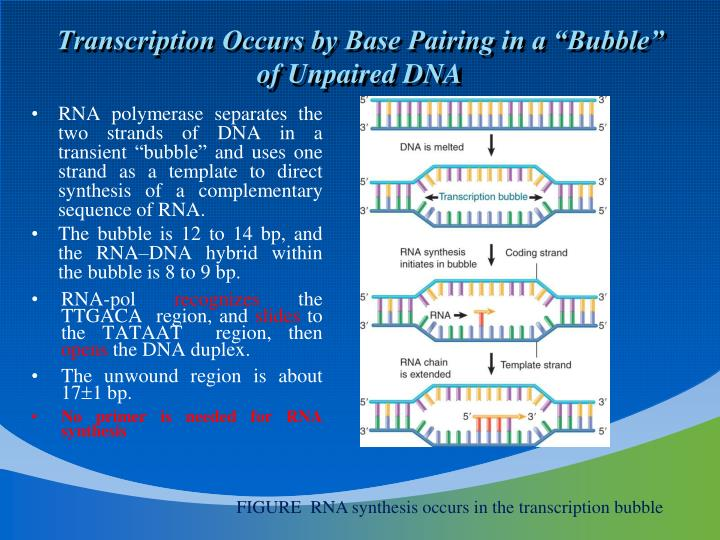"Transcription Occurs by Base Pairing in a ""Bubble"" of Unpaired DNA"
