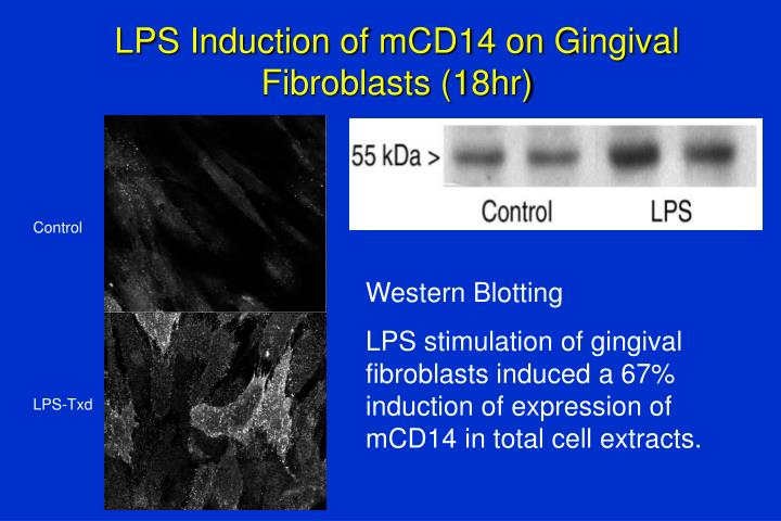 LPS Induction of mCD14 on Gingival Fibroblasts (18hr)