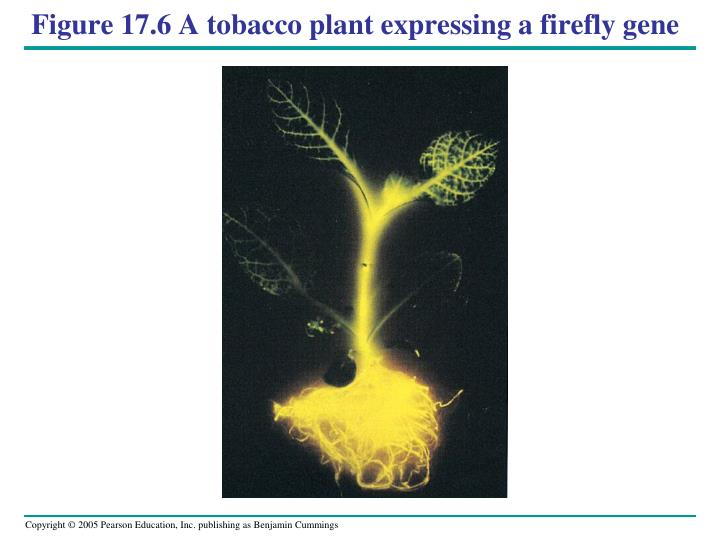 Figure 17.6 A tobacco plant expressing a firefly gene
