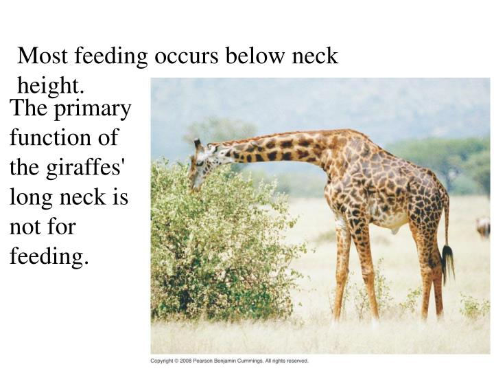 Most feeding occurs below neck height.