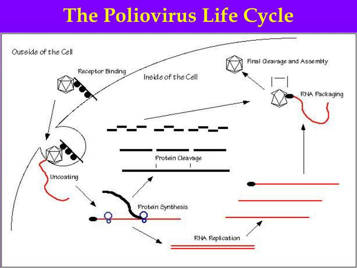 The Poliovirus Life Cycle