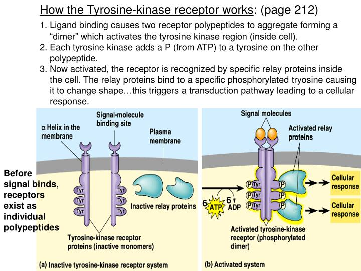 How the Tyrosine-kinase receptor works